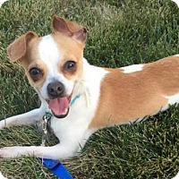 Adopt A Pet :: LIL FELLA-adoption pending - Westmont, IL
