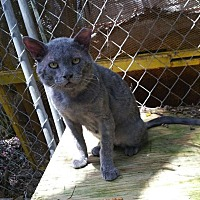 Domestic Shorthair Cat for adoption in Columbia, South Carolina - Hinto