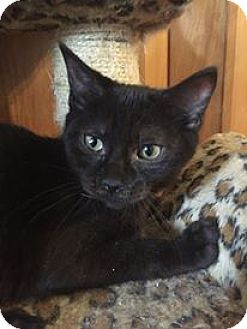 Domestic Shorthair Kitten for adoption in Davison, Michigan - Gage