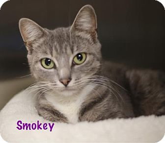 Domestic Shorthair Cat for adoption in Baton Rouge, Louisiana - Smokey