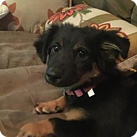 Adopt A Pet :: Lilly - Doylestown, PA