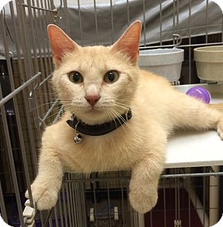 Domestic Shorthair Cat for adoption in Bonner Springs, Kansas - Paris