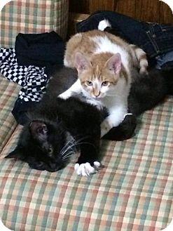 Domestic Shorthair Kitten for adoption in Virginia Beach, Virginia - Lochlann