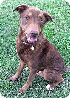 Chesapeake Bay Retriever/Shepherd (Unknown Type) Mix Dog for adoption in Corning, California - Paddington