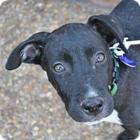 Labrador Retriever Mix Puppy for adoption in Atlanta, Georgia - Maxwell