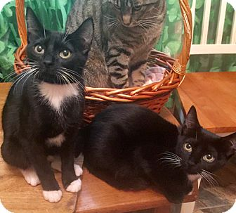 Domestic Shorthair Kitten for adoption in Brooklyn, New York - King and Nina, Teeny Tiny Tuxies