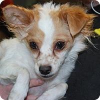 Adopt A Pet :: Buffy - Brooklyn, NY