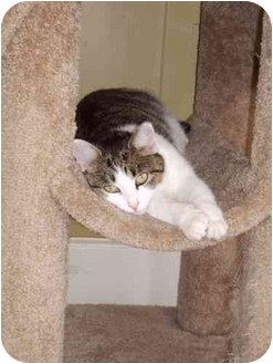 Domestic Mediumhair Cat for adoption in Chattanooga, Tennessee - Emma