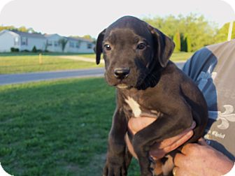Boxer/Labrador Retriever Mix Puppy for adoption in Pilesgrove, New Jersey - Boxer/labrador Puppies