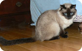 Ragdoll Cat for adoption in Davis, California - Malia