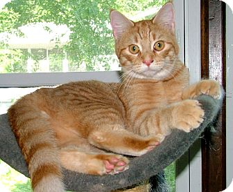 Domestic Shorthair Cat for adoption in Chattanooga, Tennessee - Willie