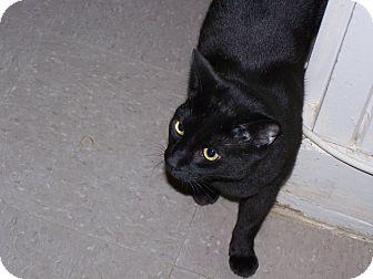 Domestic Shorthair Cat for adoption in Shelby, North Carolina - Mojo