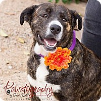 Adopt A Pet :: Georgia - Gilbert, AZ