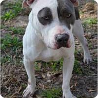 Adopt A Pet :: Harley - Orlando, FL