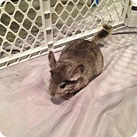 Adopt A Pet :: Bubbles - Granby, CT