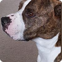 Adopt A Pet :: Diezel - Chesterfield, MI