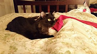 Domestic Longhair Cat for adoption in Ocala, Florida - Stevie B