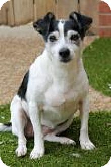 Rat Terrier Dog for adoption in Memphis, Tennessee - Princess