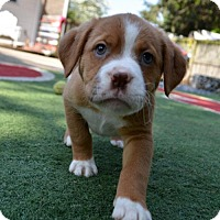 Adopt A Pet :: Gracie - Mechanicsburg, PA