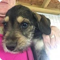 Adopt A Pet :: Pixie - Quinlan, TX