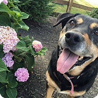 Rottweiler/Collie Mix Dog for adoption in Florence, Kentucky - Clover