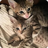Adopt A Pet :: Indie - Houston, TX