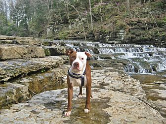 American Pit Bull Terrier Dog for adoption in Gainesboro, Tennessee - Rebel