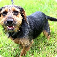 Adopt A Pet :: Scrappie~meet me! - Glastonbury, CT