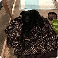 Adopt A Pet :: Miles Davis - Lima, PA