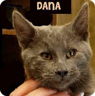Domestic Mediumhair Kitten for adoption in Red Bluff, California - DANA