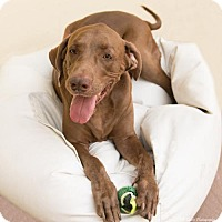 Adopt A Pet :: Ranger - Palm Harbor, FL