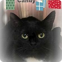 Adopt A Pet :: Candy;needs another cat - Manchester, NH