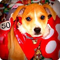 Adopt A Pet :: Chestnut - Glastonbury, CT