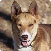 Adopt A Pet :: PATTY - Westminster, CO