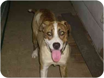 Anatolian Shepherd/American Pit Bull Terrier Mix Dog for adoption in Wylie, Texas - Aubrey