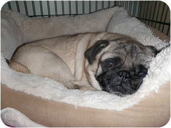 Pug Dog for adoption in Windermere, Florida - Jazzy