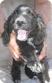 Cocker Spaniel/Dachshund Mix Puppy for adoption in Phoenix, Arizona - Two Tone