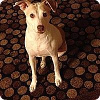 Adopt A Pet :: Abby - Las Vegas, NV
