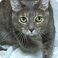 Domestic Shorthair Cat for adoption in Sacramento, California - Sookie B