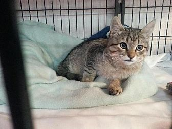 Domestic Shorthair Kitten for adoption in Montpelier, Idaho - Lincoln