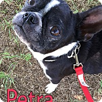 Adopt A Pet :: Petra - Weatherford, TX