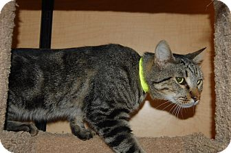Domestic Shorthair Cat for adoption in Whittier, California - Drew