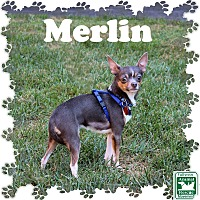 Adopt A Pet :: Merlin - Fallston, MD