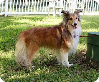 Sheltie, Shetland Sheepdog Dog for adoption in Maryland Heights, Missouri - Tanner