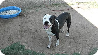 Great Dane Mix Dog for adoption in Gilbert, Arizona - Diego