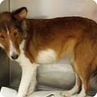 Sheltie, Shetland Sheepdog Dog for adoption in COLUMBUS, Ohio - Jessica