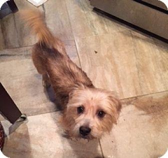 Norfolk Terrier Dog for adoption in N. Babylon, New York - Emerald