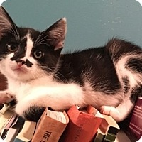 Domestic Shorthair Kitten for adoption in Barrington, New Jersey - April