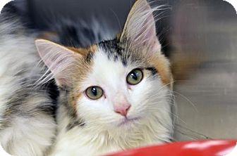 Domestic Longhair Kitten for adoption in Atlanta, Georgia - Gracie162091