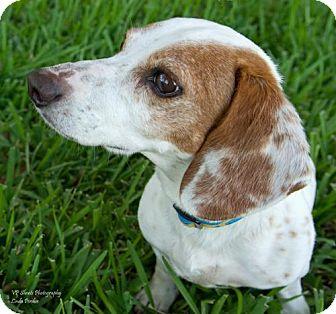 Dachshund Dog for adoption in Palm Harbor, Florida - Max
